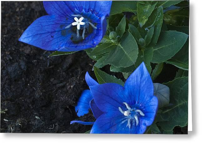 Dwarf Balloon Flower Platycodon Astra Blue  Greeting Card by Steve Purnell