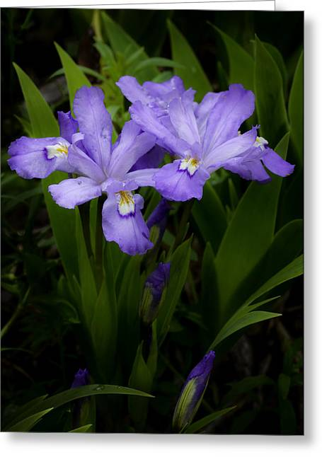 Wildflower Photograph Greeting Cards - Dwarf Crested Iris Greeting Card by Rob Travis
