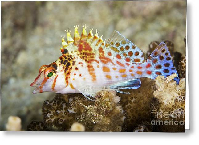 Undersea Photography Greeting Cards - Dwarf Hawkfish, Papua New Guinea Greeting Card by Terry Moore
