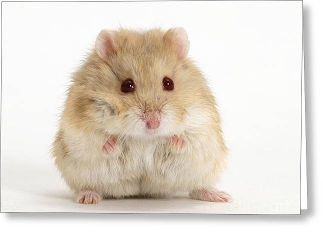 Domesticated Animal Greeting Cards - Dwarf Russian Hamster Greeting Card by Mark Taylor