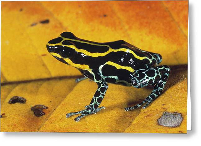 Dyeing Greeting Cards - Dyeing Poison Frog Dendrobates Greeting Card by SA Team