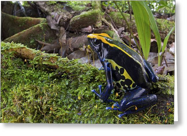 Dyeing Greeting Cards - Dyeing Poison Frog In Rainforest Surinam Greeting Card by Piotr Naskrecki