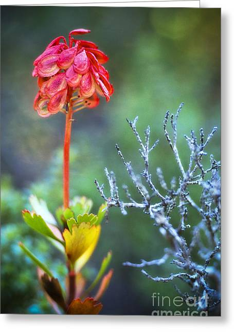 Cradle-mountain Greeting Cards - Dying rocket Greeting Card by David Lade