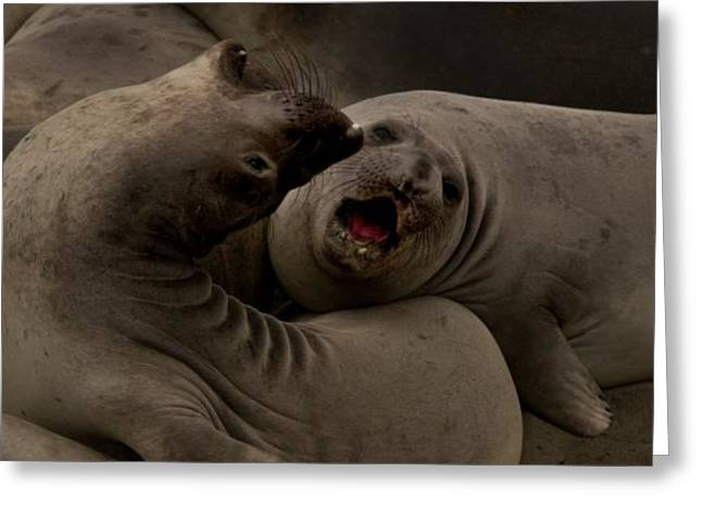 Best Sellers -  - Elephant Seals Greeting Cards - E-Seals Curve Greeting Card by BuffaloWorks Photography