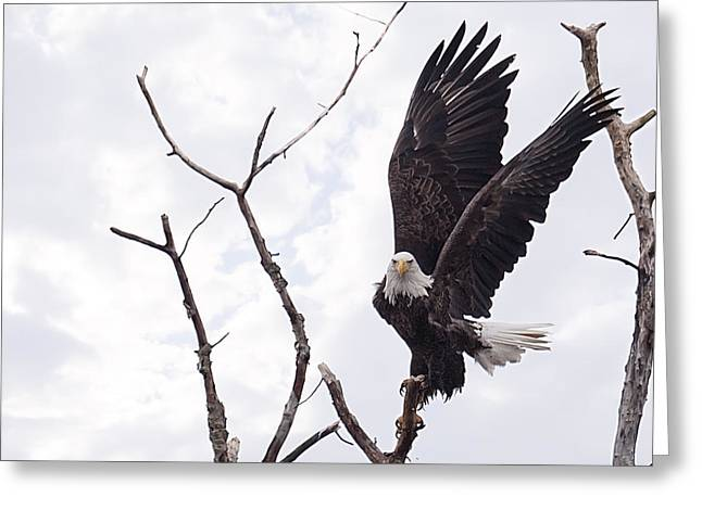 Bald Eagles Greeting Cards - Eagle Greeting Card by Everet Regal