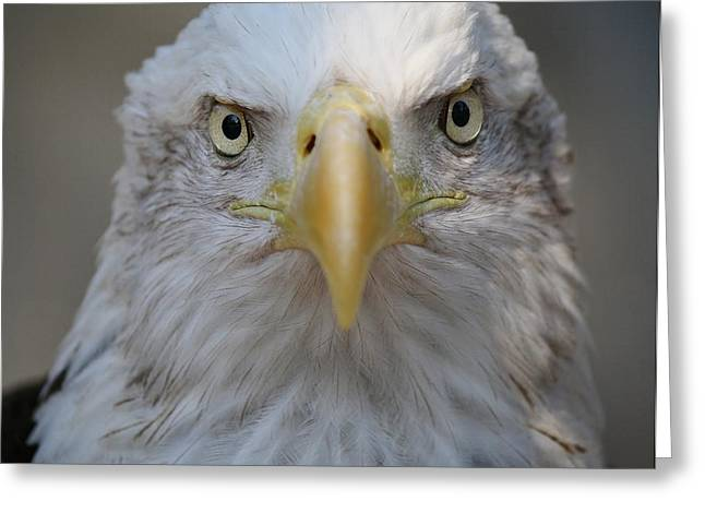 Eagle Greeting Card by Paulette Thomas