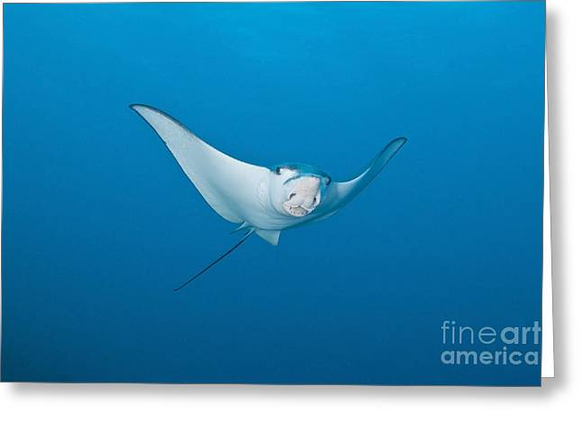 Elasmobranch Greeting Cards - Eagle Ray, Ari And Male Atoll, Maldives Greeting Card by Mathieu Meur