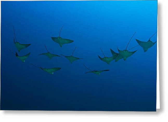 Unique View Greeting Cards - Eagle Rays in Ocean Greeting Card by Dave Fleetham - Printscapes