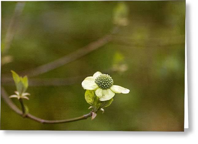 Dogwood Greeting Cards - Early Dogwood Greeting Card by Rebecca Cozart