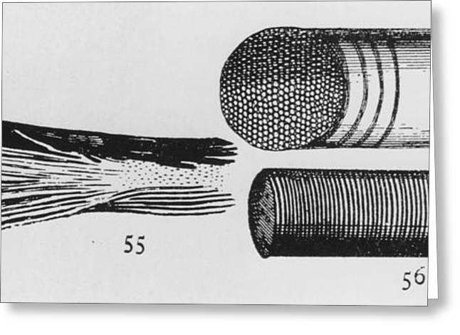 Historical Images Greeting Cards - Early Drawing Of Muscle By Leewenhoek Greeting Card by Dr Jeremy Burgess.