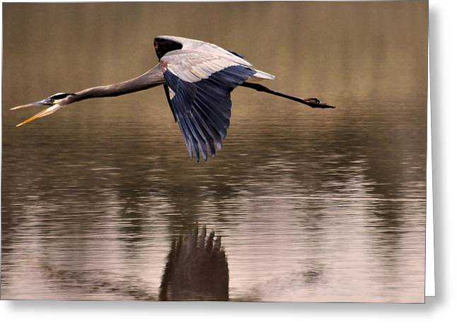 Blue Heron Greeting Cards - Early Morning Fishing Heron - c8429e Greeting Card by Paul Lyndon Phillips