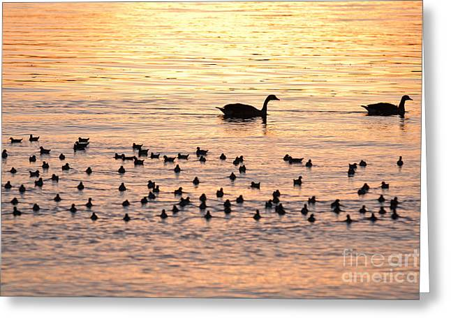 Alkaline Greeting Cards - Early morning for Canadian Geese Greeting Card by Olivier Steiner