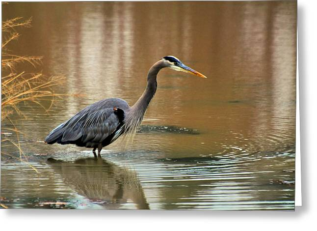 Crane Greeting Cards - Early Morning Hunting Heron - 8508e Greeting Card by Paul Lyndon Phillips