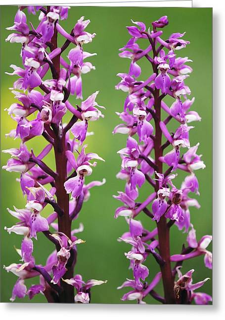 Purple. Wild Orchid Greeting Cards - Early Purple Orchid (orchis Mascula) Greeting Card by Colin Varndell