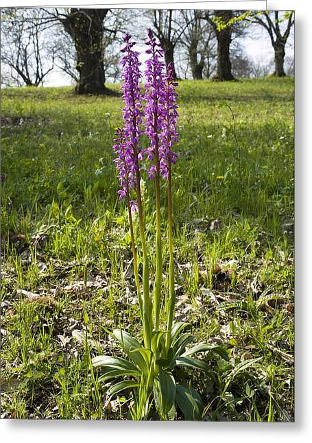 Purple. Wild Orchid Greeting Cards - Early Purple Orchid (orchis Mascula) Greeting Card by Paul Harcourt Davies