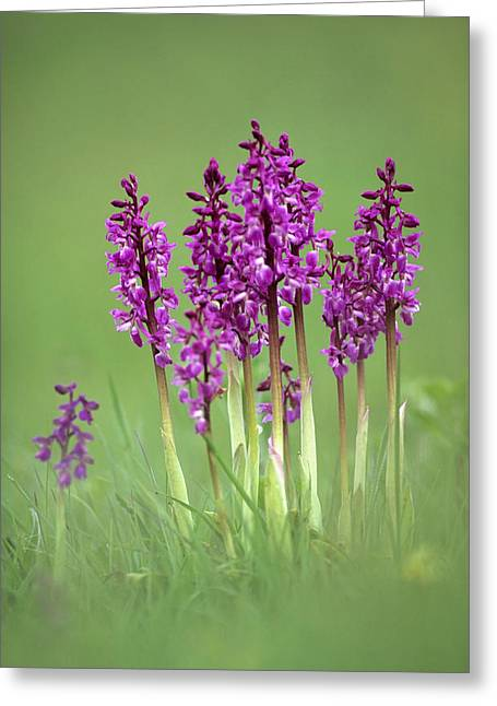 Variable Focus Greeting Cards - Early Purple Orchids (orchis Mascula) Greeting Card by Adrian Bicker