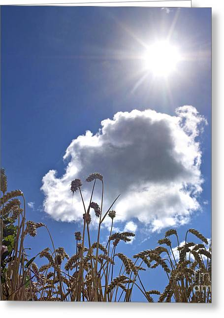 Solar Flare Greeting Cards - Ears of wheat under a blue sky with a single cloud Greeting Card by Bernard Jaubert