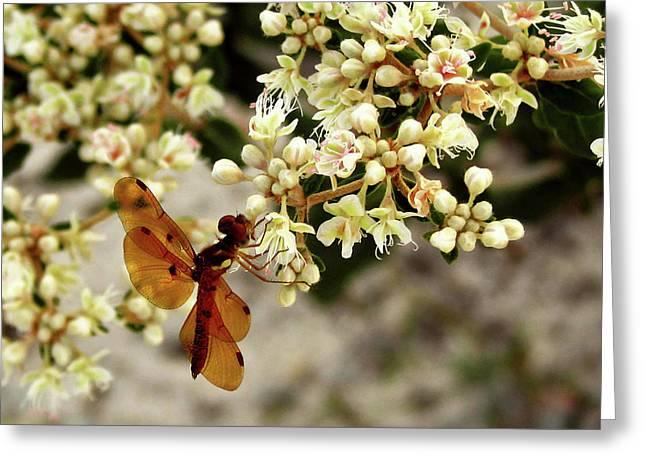 Amberwing Greeting Cards - Eastern Amberwing on Wild Buckwheat Greeting Card by Peg Urban