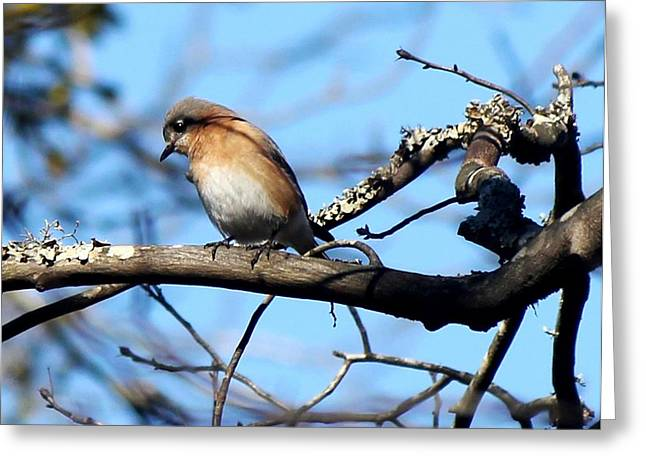 Bluebird Posters Greeting Cards - Eastern Bluebird 5776-I Greeting Card by Suzanne  McClain