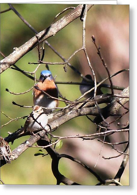 Bluebird Posters Greeting Cards - Eastern Bluebird and Friends  5751-I Greeting Card by Suzanne  McClain