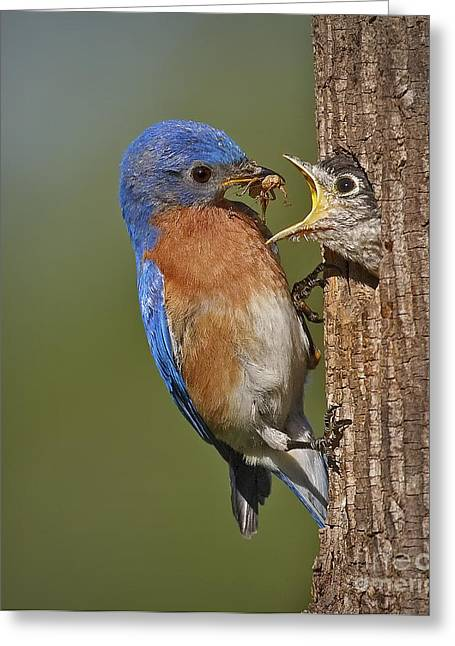 Hatching Greeting Cards - Eastern Bluebird Feeding Chick Greeting Card by Susan Candelario