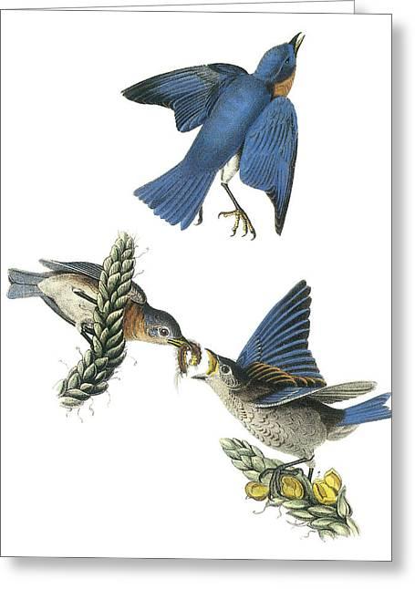 Audubon Greeting Cards - Eastern Bluebird Greeting Card by John James Audubon