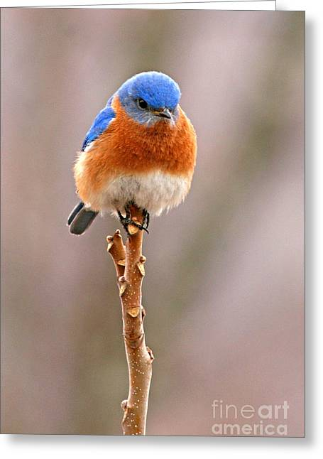 Perching Greeting Cards - Eastern Bluebird Treetop Perch Greeting Card by Max Allen