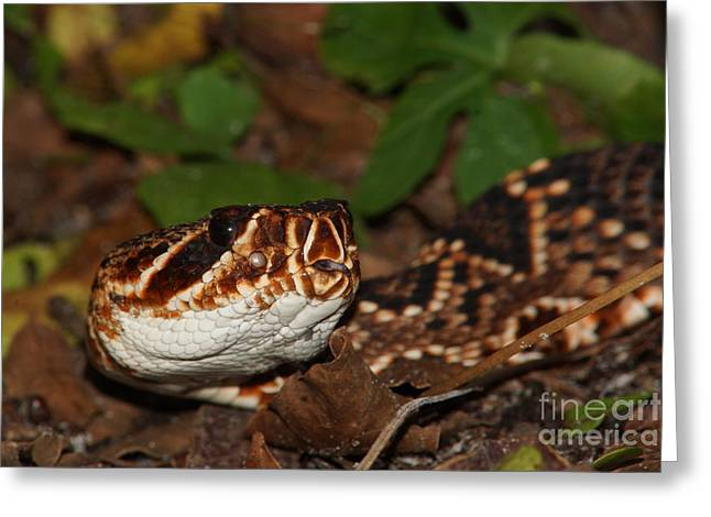 Eastern Diamondback Greeting Card by Lynda Dawson-Youngclaus