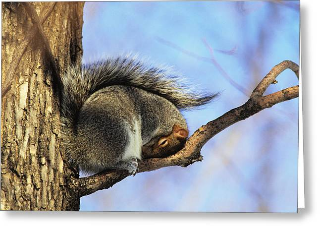 Precarious Greeting Cards - Eastern Gray Squirrel, Montreal Greeting Card by Philippe Henry