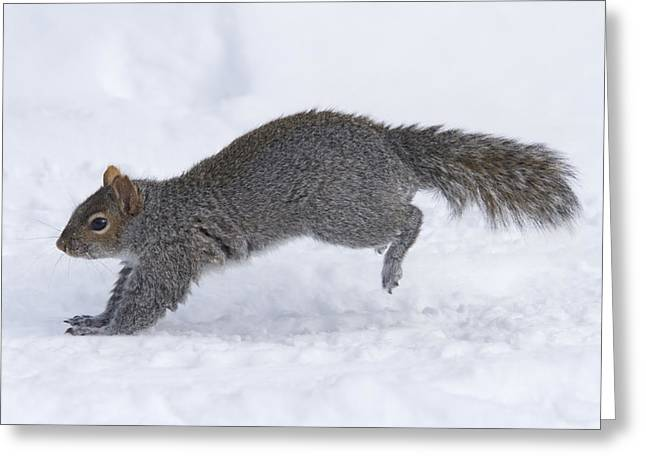 Eastern Grey Squirrel Greeting Cards - Eastern Gray Squirrel Running Greeting Card by Philippe Henry