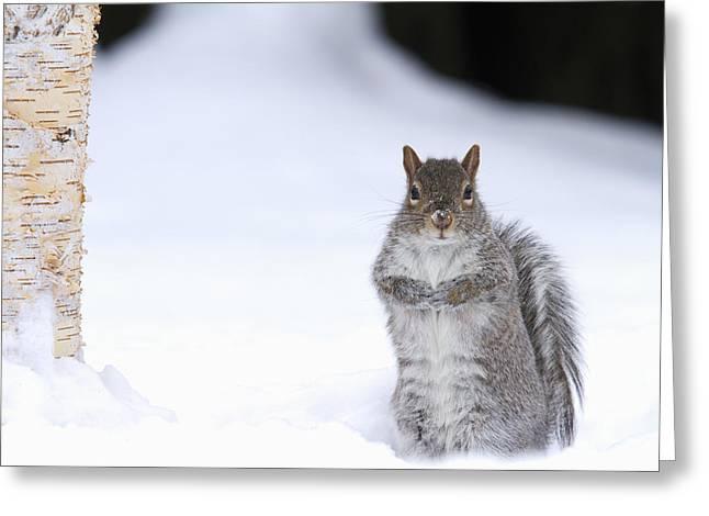 Eastern Grey Squirrel Greeting Cards - Eastern Gray Squirrel Standing Greeting Card by Philippe Henry