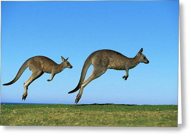 Ai Greeting Cards - Eastern Grey Kangaroo Macropus Greeting Card by Jean-Paul Ferrero