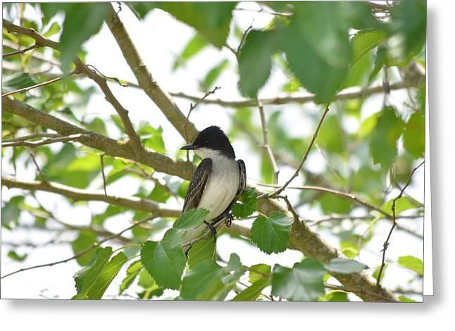 Eastern Kingbird Greeting Cards - Eastern Kingbird Greeting Card by Kathy Gibbons