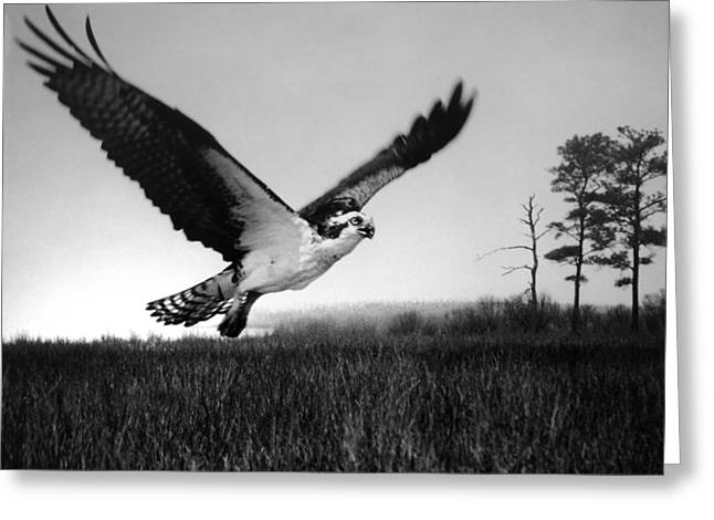 Wildlife Refuge. Greeting Cards - Eastern Neck Marsh Osprey Greeting Card by Skip Willits