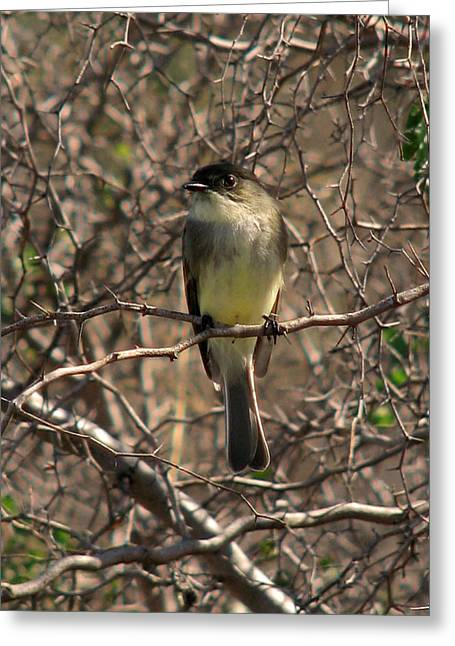 Winter Migrants Greeting Cards - Eastern Phoebe Greeting Card by Peg Urban