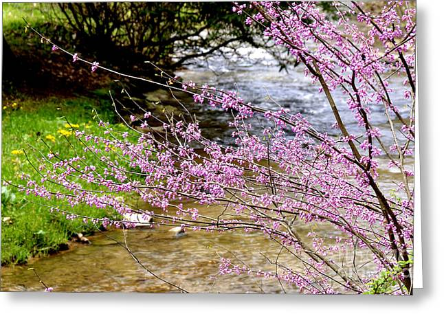 Cercis Greeting Cards - Eastern Redbud Anthony Creek Greeting Card by Thomas R Fletcher