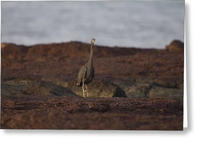 Eastern Reef Egret-dark Morph Greeting Card by Douglas Barnard
