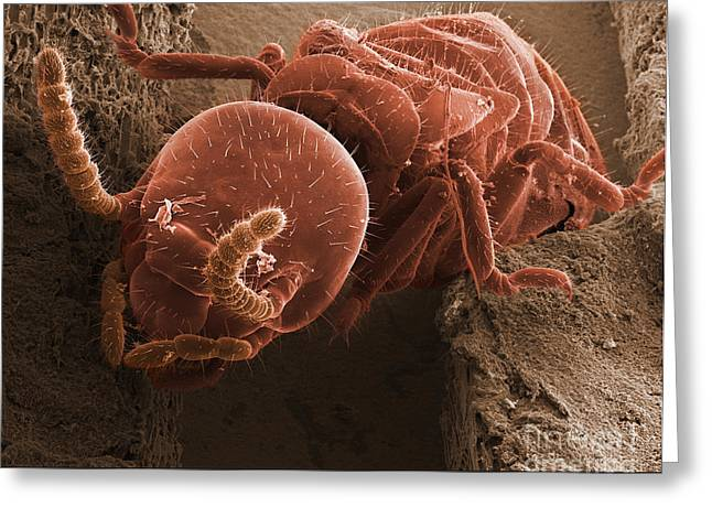 Subterranean Fauna Greeting Cards - Eastern Subterranean Termite, Sem Greeting Card by Ted Kinsman