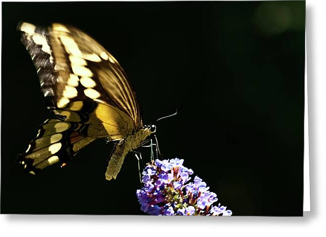 Decor Nature Photo Greeting Cards - Eastern Tiger Swallowtail Butterfly on Butterfly Bush Greeting Card by  Onyonet  Photo Studios