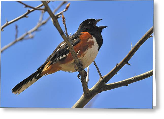 Brown Towhee Greeting Cards - Eastern Towhee Greeting Card by Tony Beck