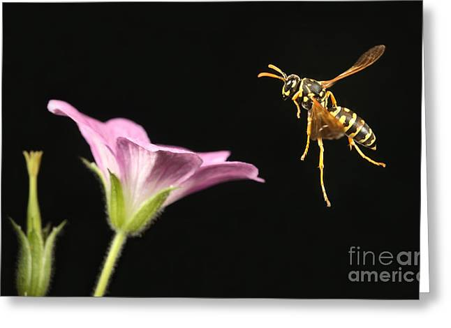 Silhouettable Greeting Cards - Eastern Yellow Jacket Wasp In Flight Greeting Card by Ted Kinsman