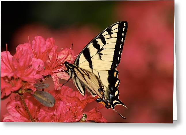 Eastern Yellow Tiger Swallowtail And Azaleas Greeting Card by Lara Ellis