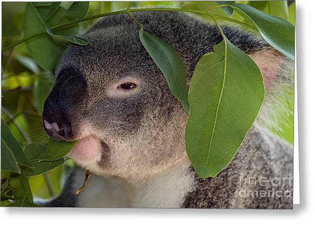 Koala Bear Greeting Cards - Eat your Greens Greeting Card by Mike  Dawson