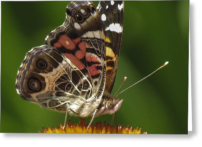 Echinacea butterfly meal Greeting Card by Darleen Stry