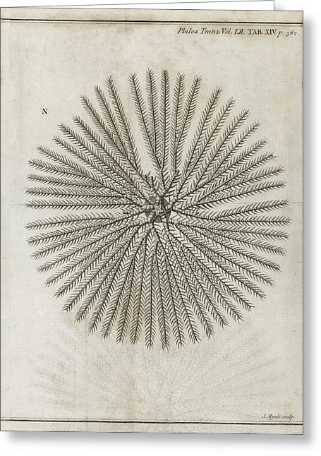Royal Society Of London Greeting Cards - Echinoderm, 18th Century Greeting Card by Middle Temple Library