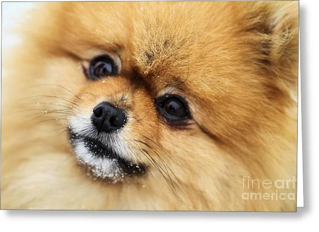 Pomeranian Greeting Cards - Edgrrrr 1 Greeting Card by Renae Laughner