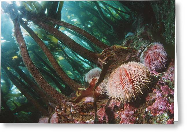 Kelp Forest Greeting Cards - Edible Sea Urchins Greeting Card by Georgette Douwma