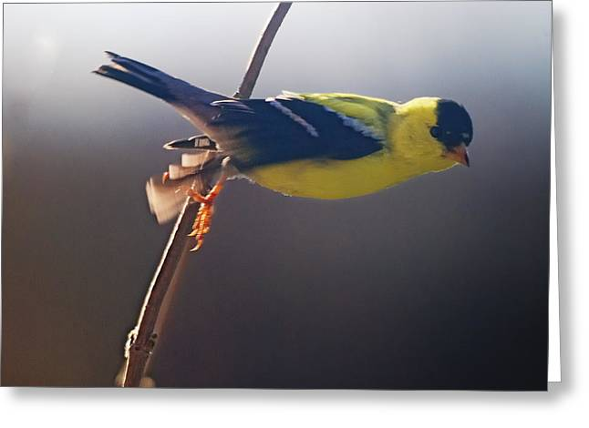 Canary In Flight Greeting Cards - Effortless Greeting Card by Susan Capuano