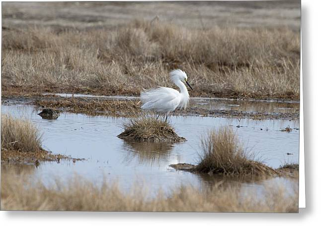 Egret Display Greeting Card by Chuck Homler