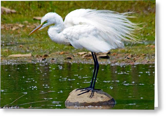 Great Birds Pyrography Greeting Cards - Egret in Mating Plumage Greeting Card by Kristine Quandee